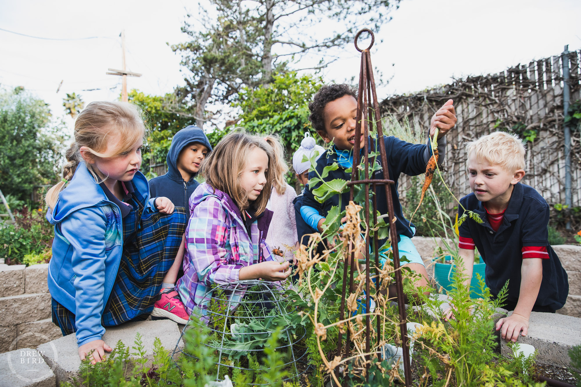 A group of second grade students pull carrots out of the learning garden at Hillbrook School in Silicon Valley. San Francisco education brand photography and Oakland independent school photographer Drew Bird.